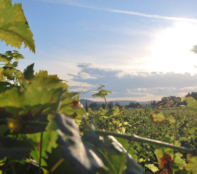 El próximo 11 de diciembre el sector vitivinícola analiza en Logroño el futuro del viñedo sostenible en España