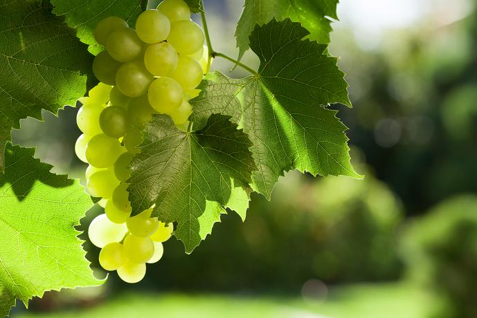 Finaliza el proyecto GOPHYTOVID con óptimos resultados sobre el uso de fitosanitarios en viticultura en base a mapas de vigor