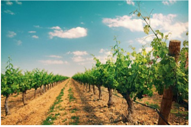 El paisaje de viñedo: buen vino y cava y sumidero de carbono