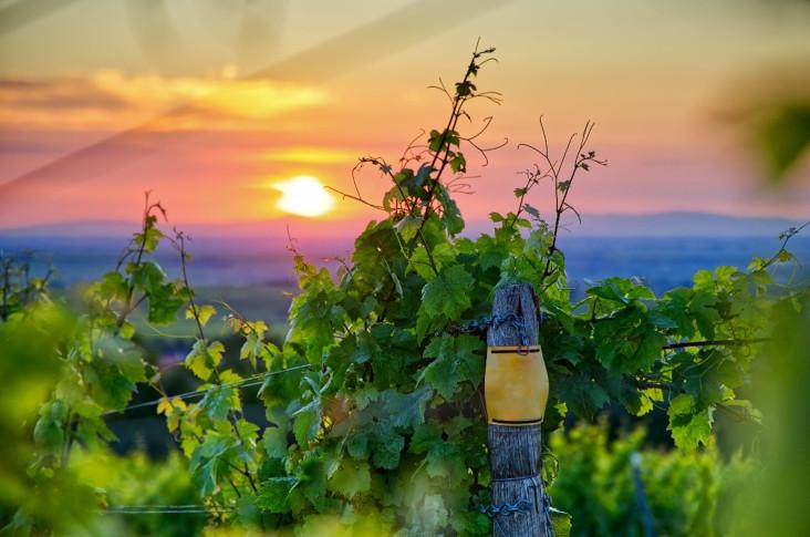 El sector vitivinícola cuida del medio a través de la innovación y sostenibilidad